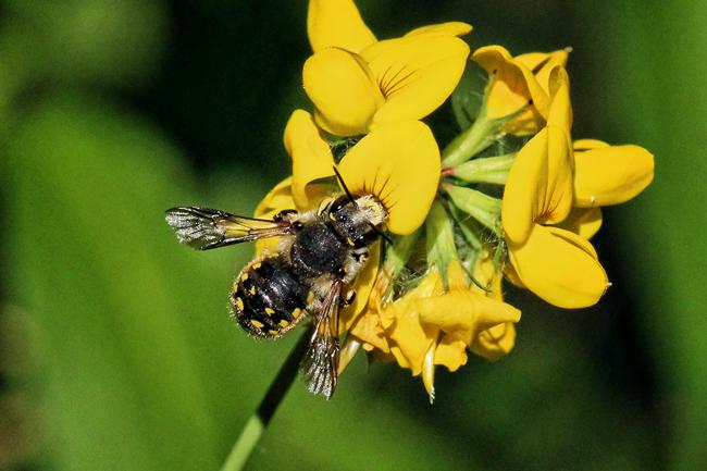 Wool carder bee.
