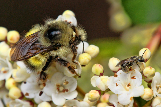 Big and little bees share a flower. © Rusty Burlew.