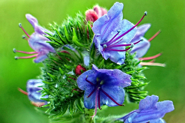 Viper's bugloss. Here you can see the blue pollen. Pixabay photo.
