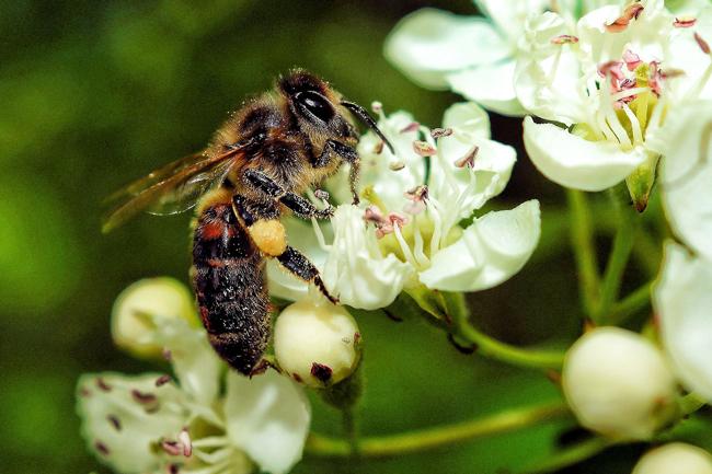 Bee on apple blossom.