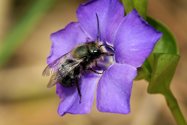Male-mason-bee-on-vinca