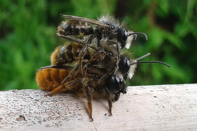 Osmia rufu mating threesome