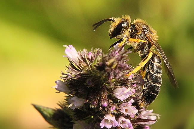 Halictus-rubicundus-male-on-mint.jpg