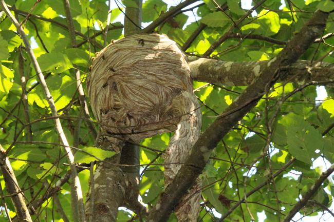 Aerial-yellowjacket nest with wasps aplenty