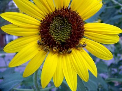 Sunflower © Jeffrey Rosas