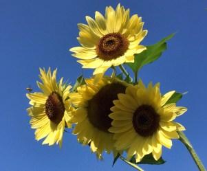 Bee approaching sunflowers. © Diane Zaidel.