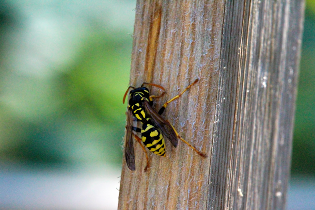 Yellowjacket-collecting-wood-fibers