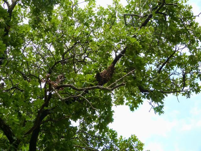 Lorieann-bee-swarm-in-tree-6-12-16a