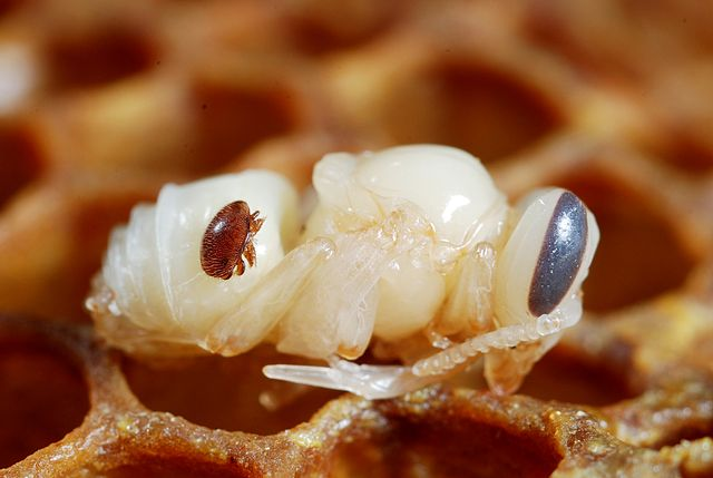 Varroa destructor on honey bee pupa 640px