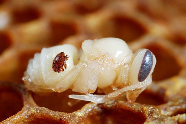 Varroa destructor on honey bee pupa 640px