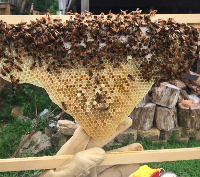 capped-honey-in-a-laying-worker-hive