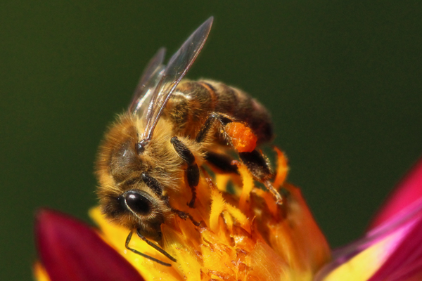 Honey-bee-suite turns seven. Honey bee on dahlia.