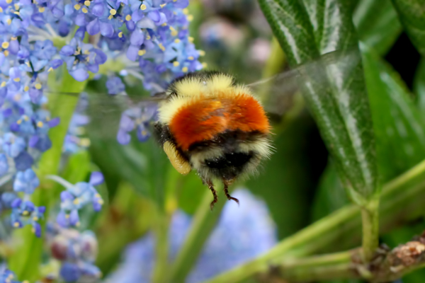 Small feet on a big bee.