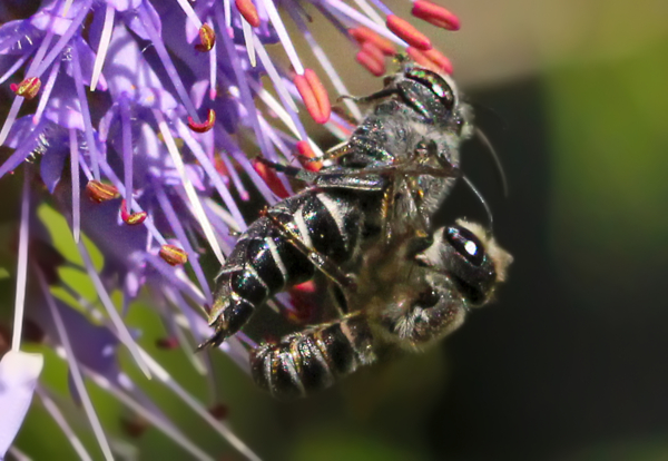 A mating pair of Coelioxys