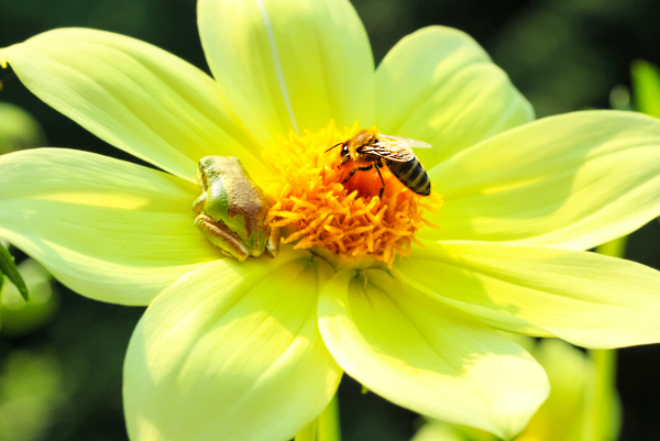 Flowers are for sharing with Pacific tree frogs.