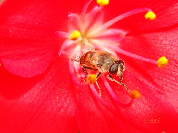 """A fly in the center of a red flower, """"washing"""" its hands."""