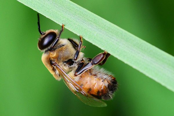 A honey bee drone resting in the grass. His large eyes help him track young queens in the drone congregation area.