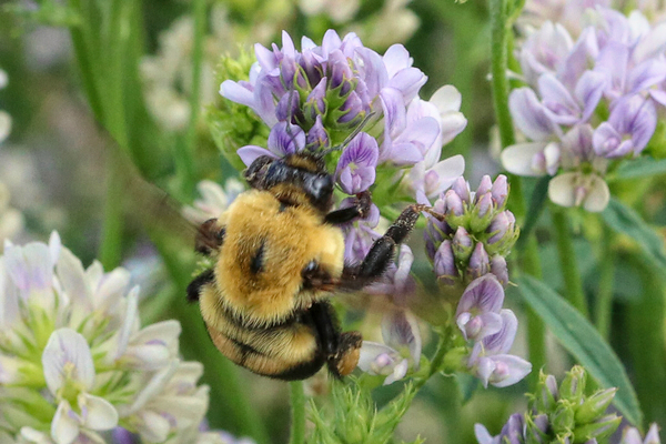 <em>Bombus griseocollis</em>. I was amazed at the size of these bees. Huge.