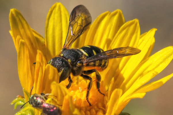 Bees of all sorts love gumweed flowers (<em>Grindelia</em>). Here you can barely see the bee's pollen-covered abdominal scopa and a spine on the tibia of the hind leg.