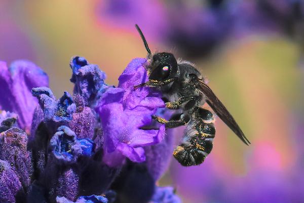 A Megachile angelarum forages on lavender in central Oregon.
