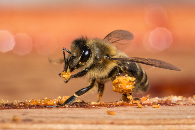 <strong>Recycled Propolis: </strong>A honey bee worker collects used propolis from an empty hive. She scrapes pieces from a crown board with her mandibles and then deposits them in her pollen baskets for transport. Photo © Christopher Wren.