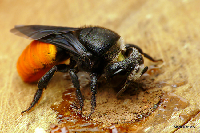 <strong>Resin Bee: </strong>A striking Australian resin bee is adding the finishing touches to her nest entrance. First she seals the nest with plant resins for waterproofing, then she adds a layer of mud.<sup>5 </sup>Photo © Mark Berkery.