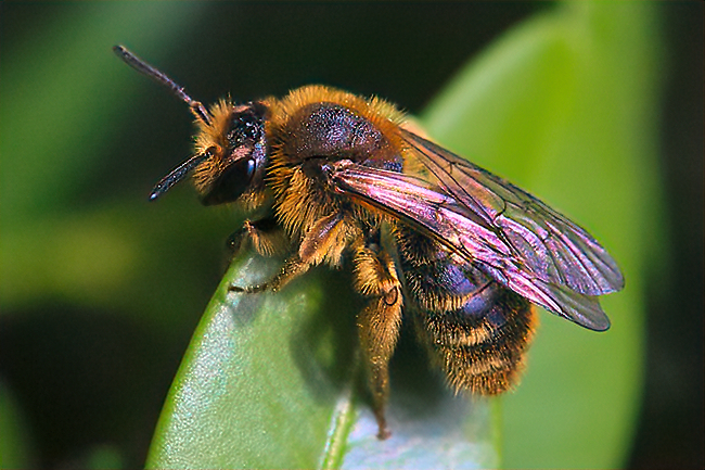 Bees in the forest: Ground-nesting bees like this <em>Andrena</em> need bare soil for nest building.