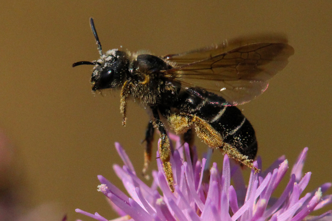 Although seldom recognized, the orange-legged furrow bee <em>Halictus rubicundus</em> is a tireless pollinator in many agricultural and natural settings.