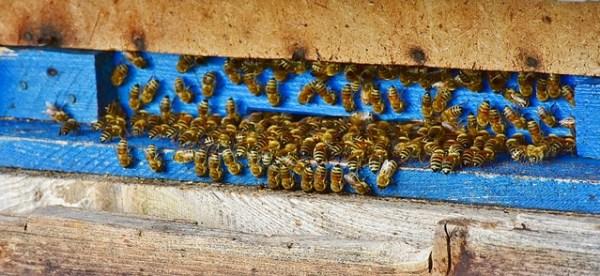 Pollinator summit: honey bees on a landing board.