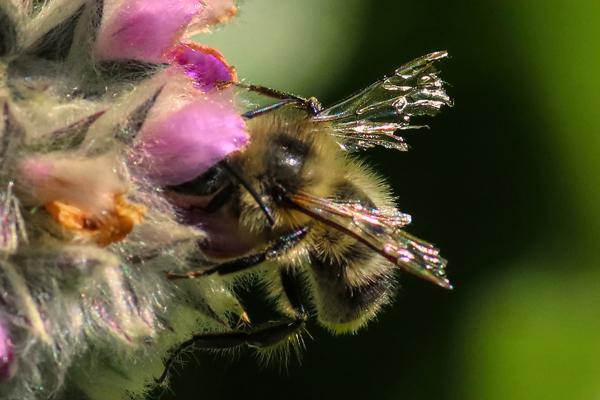 Worn wings: When a bee's wings are this tattered, flight becomes difficult. This bee hasn't much longer to live.