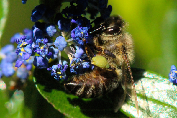 Green pollen: A honey bee with green Ceanothus pollen.