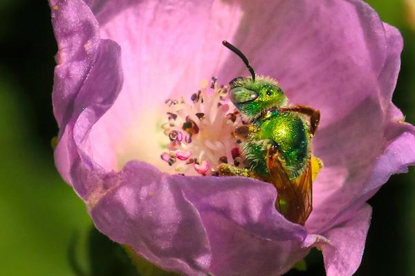 Agapostemon in mountain hollyhock: A female Agapostemon (green metallic sweat bee) peeks from a mountain hollyhock bloom.