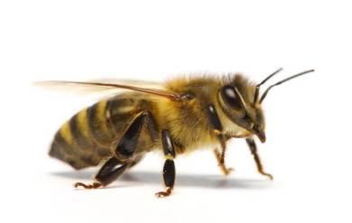 μέλισσα κυψέλη