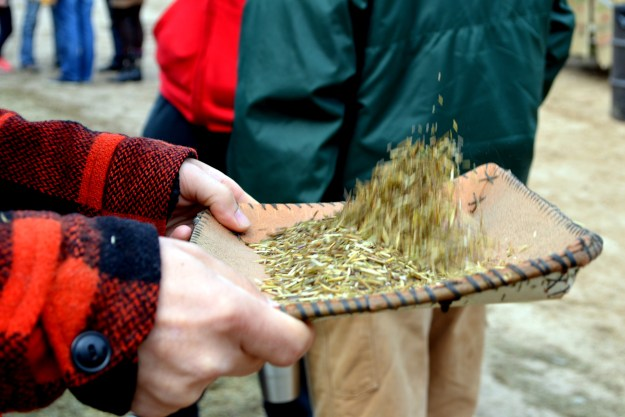 Drew gently tossed the wild rice into the air, letting the wind help him blow away the chaff. The wild rice falls back into the birch bark tray, the broken bits fall onto the ground, and the chaff blows away.