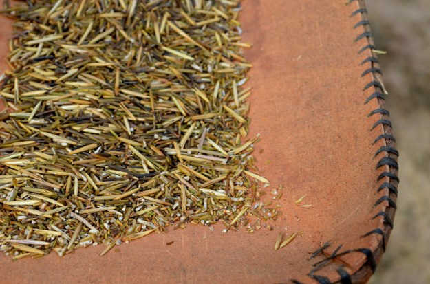 This is the manoomin partway through the winnowing process. You can still see some chaff and broken bits of wild rice.
