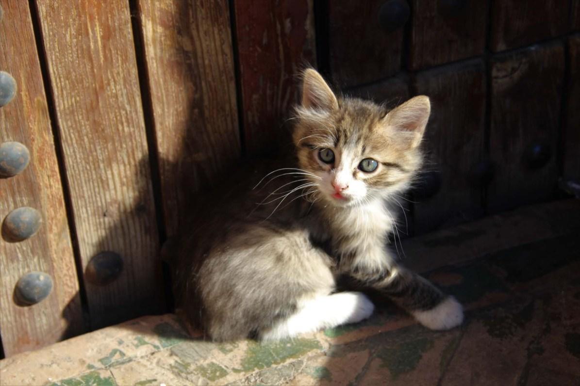 Kitten in Marrakech