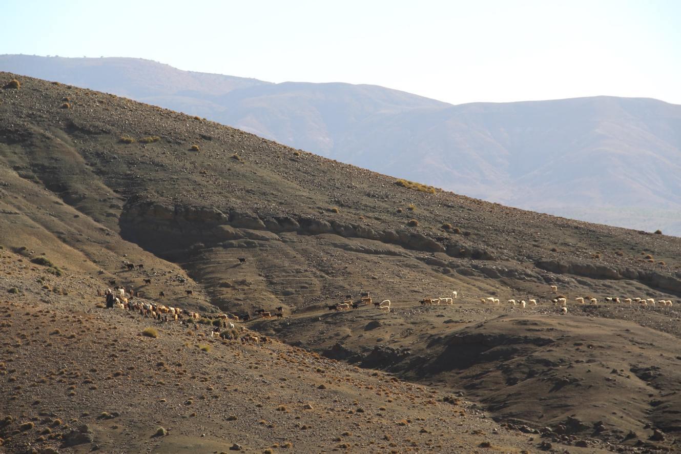 Mandria di pecore attraversa le colline dell'Alto Atlante