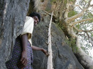 Bamboo used for climbing
