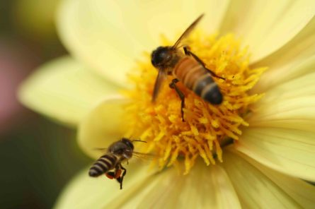Pollination by two different honey bees