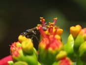 Wasp pollination