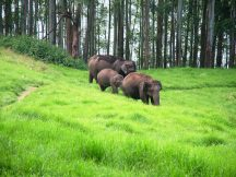 Elephants at the Mattupatty Dam