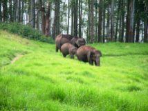Elephants at the Mattupatty Dam