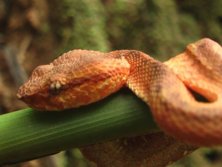 Malabar Pit Viper in Nilambur