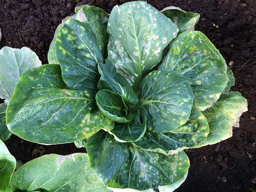 chinese white cabbage