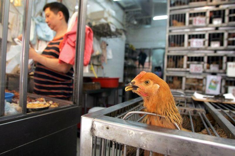 chicken bird flu