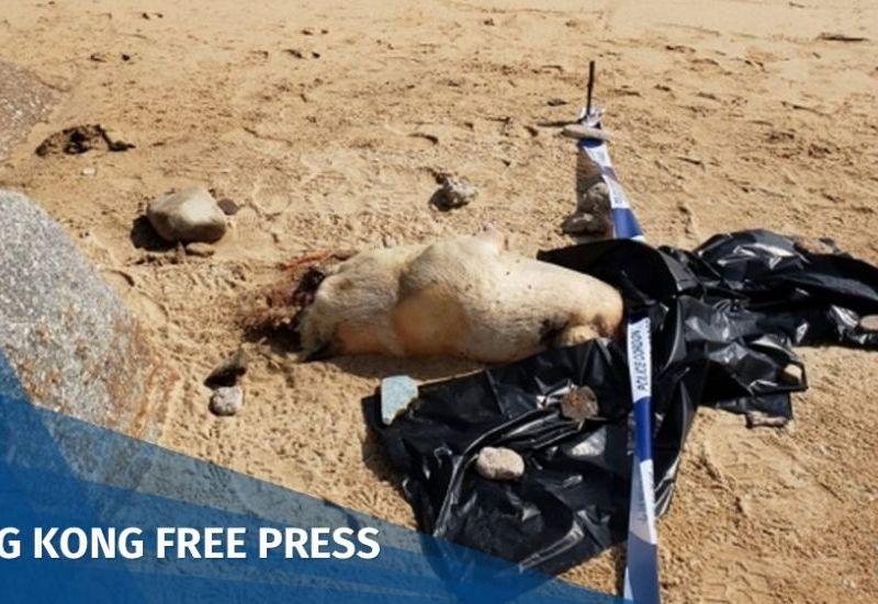 Pig corpse Cheung Chau Tung Wan Beach