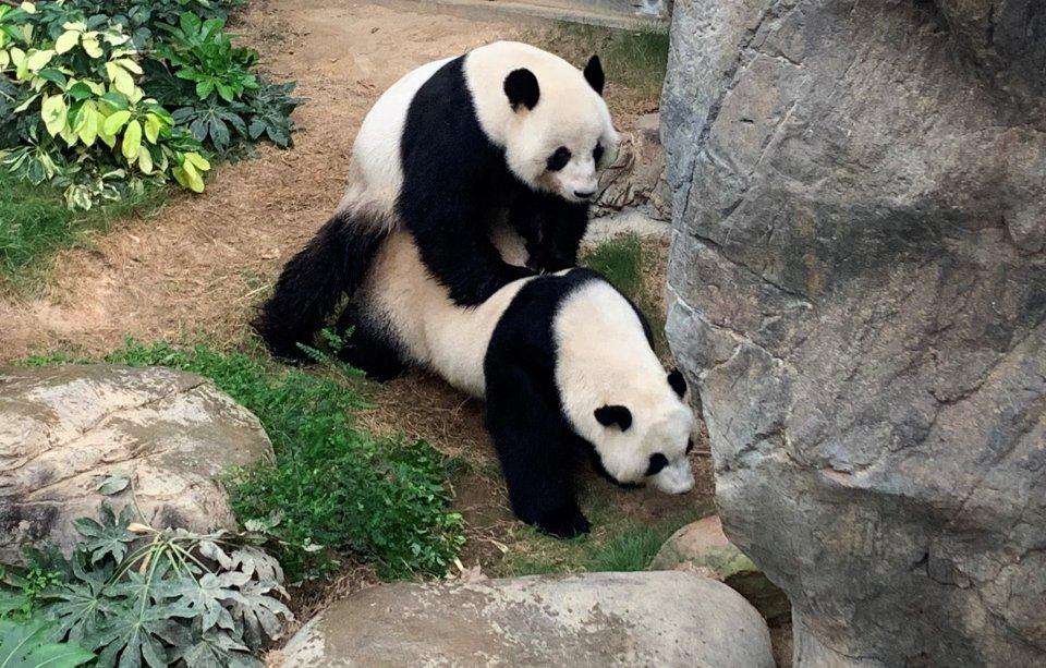 pandas mating hong kong