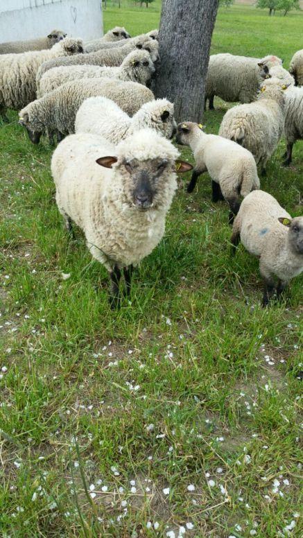 Unsere kleinen und großen Schafe
