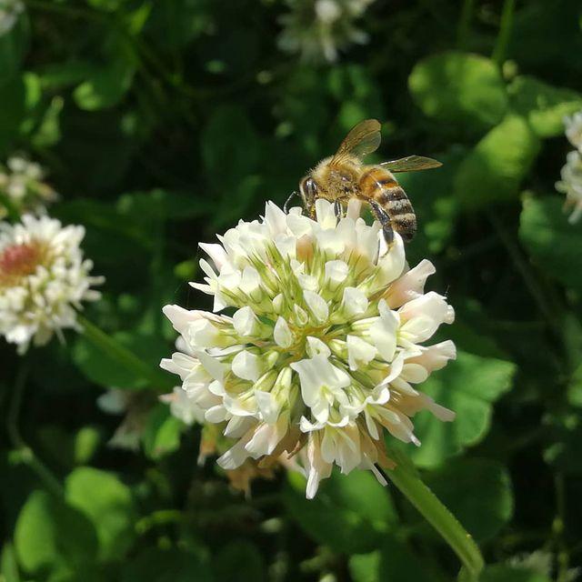 Buckfastbier samler pollen i hvidkløver