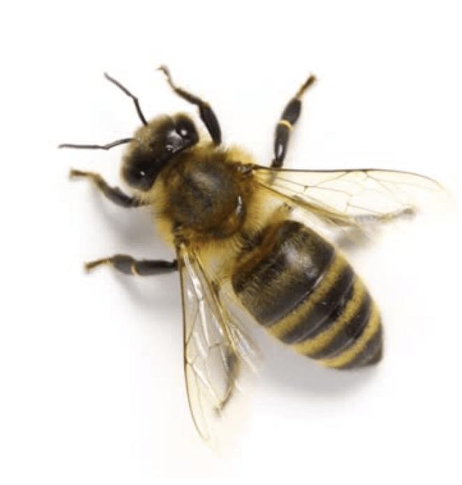Buckfastbien sælges som dronning eller bifamilie hos Honningpigen